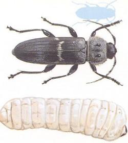 bild på husbock med larv